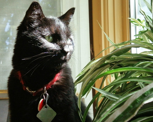 short hair black cat looks out the bay window over a spider plant