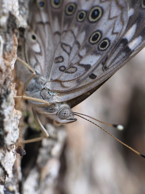 Hackberry Emperor Butterfly, Asterocampa celtis