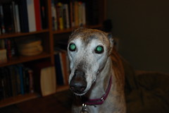 Aging greyhound looking worried