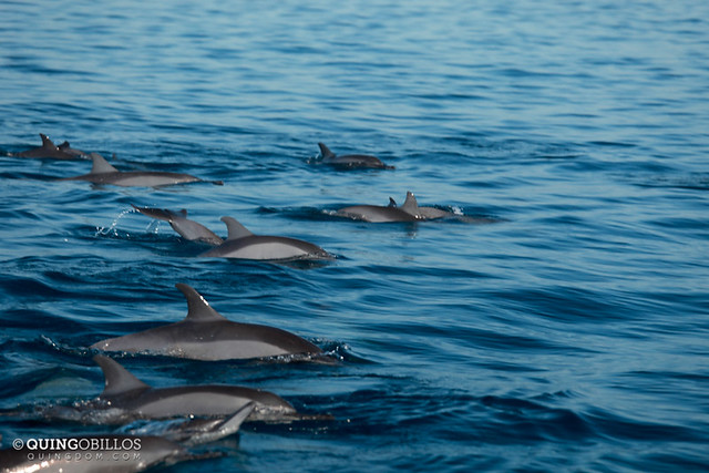 Pod of Dolphins in Palawan