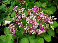 Λουλούδι του Βάτου