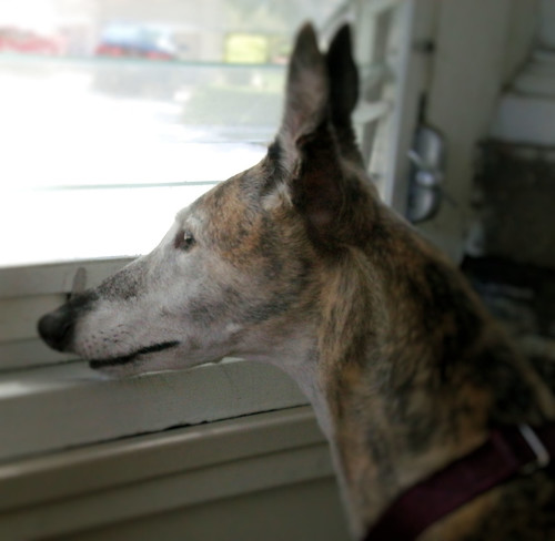 Red brindle greyhound with graying face hold ears upright while looking out the window of the screened in porch