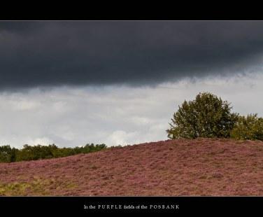 Posbank augustus 2011 | Heideveld in bloei