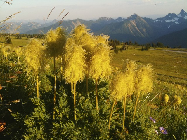 Truffula Trees at Mt. Rainier