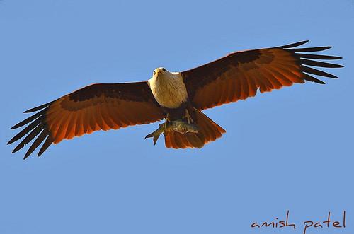 Brahminy Kite with FISH