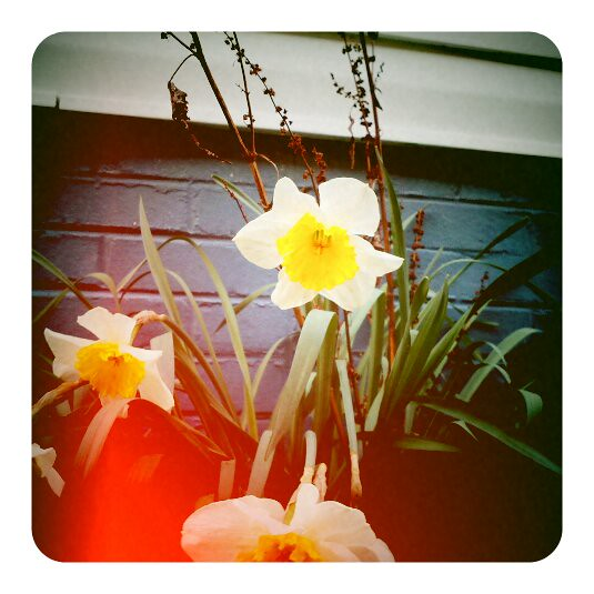 Hurray for Daffodils