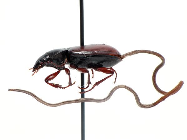 beetleworm3_sm