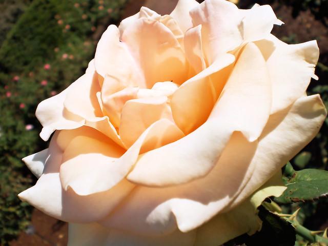 The Leu Gardens has a diverse collection of roses in their gardens