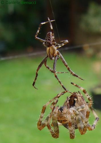 Araneus diadematus - Garden Spider