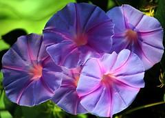 MORNING GLORY  #1  /  BLUE DAWN FLOWER