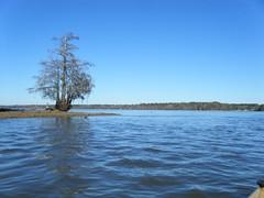 Lone Cypress on Lake Marion