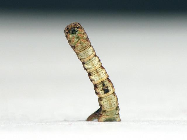 Dory's Looper (Geometridae)