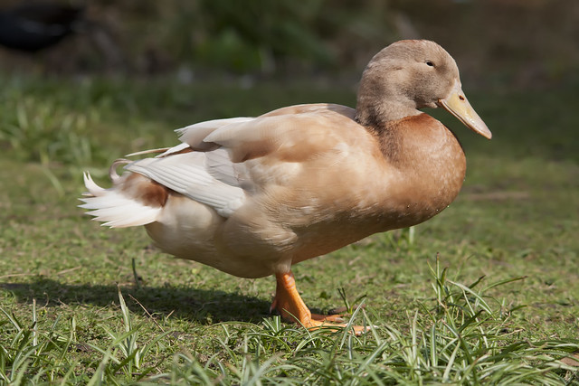 Silver Appleyard Ducks Saxony