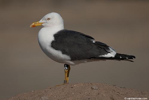 Lesser Black-backed Gull, (L.f. graellsii), 19cy, N[D=]