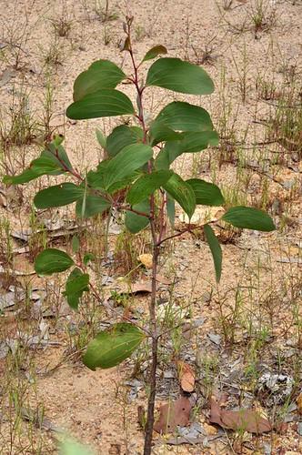 Acacia leptoloba