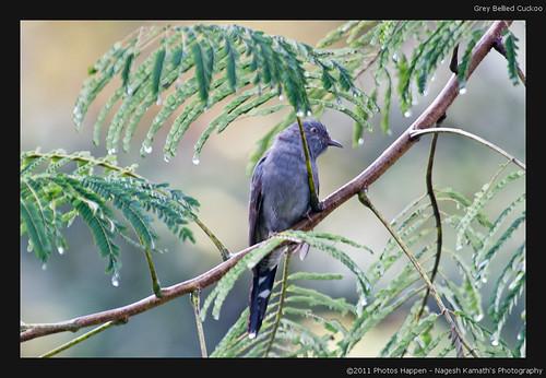 Grey Bellied Cuckoo