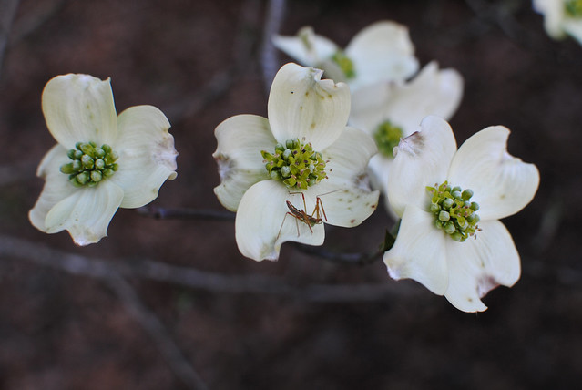 Dogwood and Crickety Thing