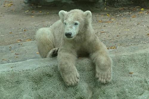 Eisbär Siku im Ouwehands Dierenpark in Rhenen