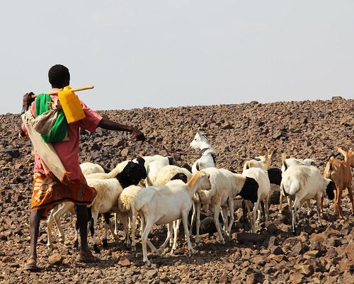 Pastoralist with herd