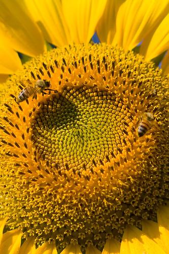 sunflower pollination [smartphone wallpaper]
