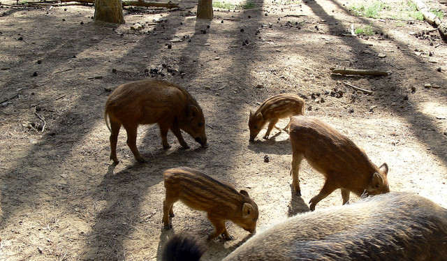 Wild Boar and Babies