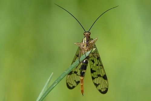 Skorpionsfliege (Panorpidae) by hellboy2503