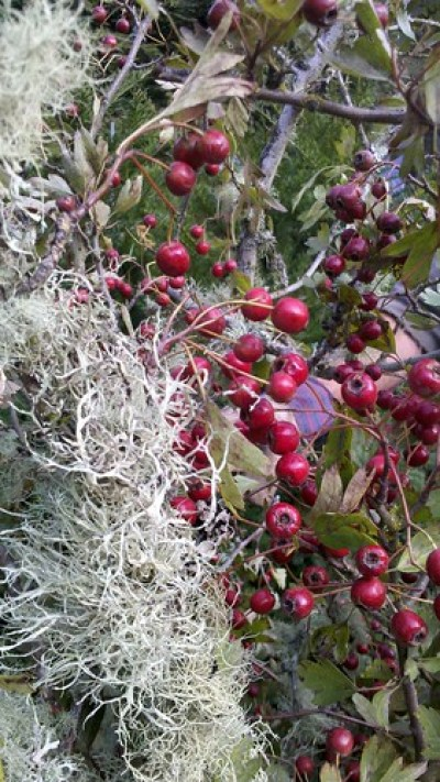 Mossy Hawthorn Berry Branches