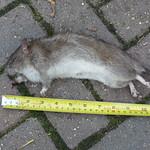 Ratting