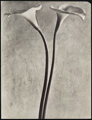 Calla Lilies, c.1927, by Tina Modotti