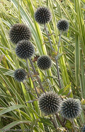 Popping Thistles, Waterperry Gardens, UK