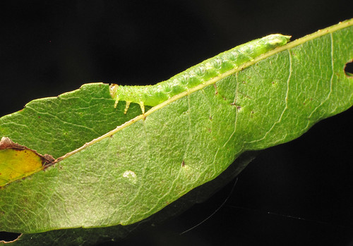 Cryptic caterpillar (topside)