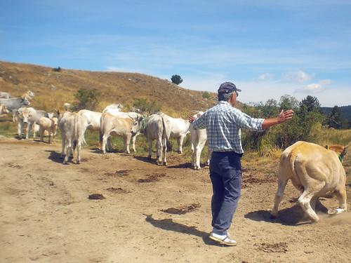 L'uomo che sussurrava alle mucche...