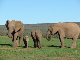 Elephant Family with baby