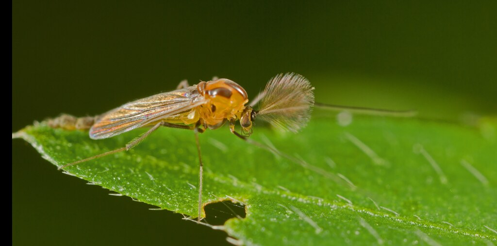 Male Midge done with broomopod