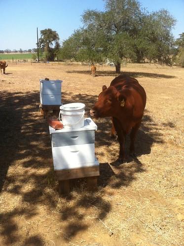 cow sniffs hive gonzales