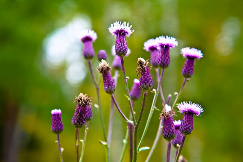 Nice flowers of weed