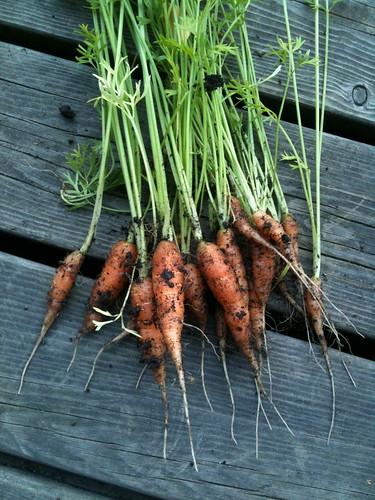 porkkana by niini