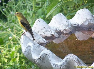 Goldfinch on the bird bath