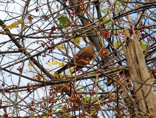 Robin among bittersweet berries