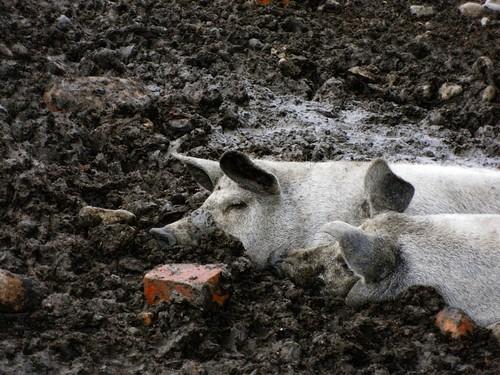 Mangalica (Mangalitza) pigs