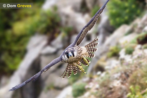 Juvenile peregrine in flight