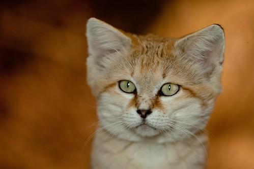 Sand Cat 61
