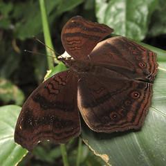 Brown Pansy - Junonia stygia