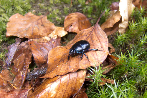 Ground beetle insect