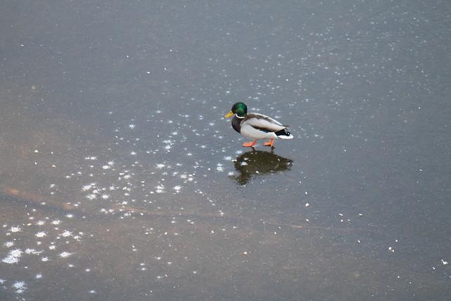 Jesus Duck walking on the Vltava