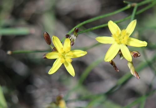 Yellow Rush lily (Tricoryne elatior) at Bababi Djinanang native grassland Fawkner