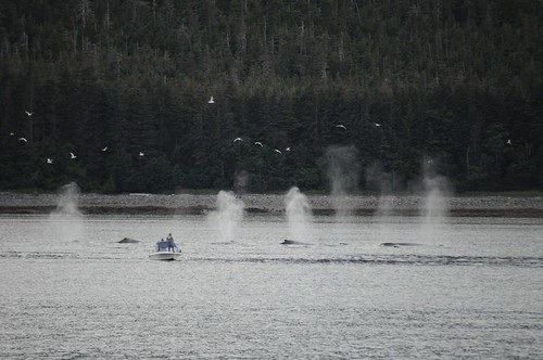 Humpback Whales - Juneau, AK