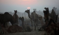 7134 Sunset over the camel fair---Rajasthan , India