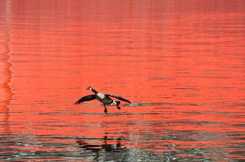Geese Glide Orange