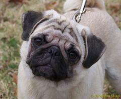Penny, the pug